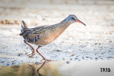 VIRGINIA RAIL - BROOKHAVEN N.Y.