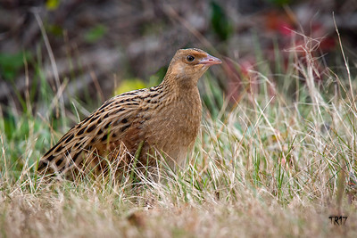 CORN CRAKE - CEDAR BEACH