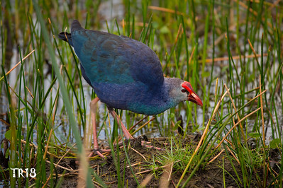 PURPLE SWAMPHEN - FLA.