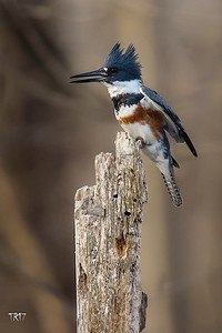 BELTED KINGFISHER - FUCHS POND