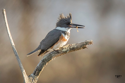 KINGFISHER - FUCHS POND