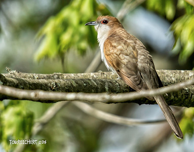 BLACK-BILLED CUCKOO - MEADOWALRK PARK