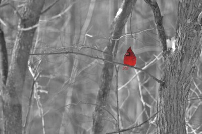 A bright Northern Cardinal brightens a gray winter day. (altered in Photoshop) [January; Elm Creek Nature Reserve, Hennepin County, Minnesota]
