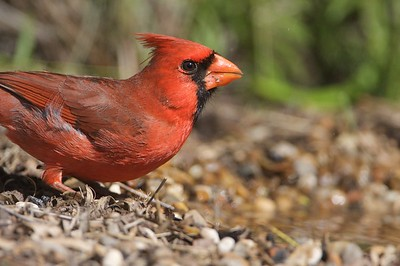Invariably, a cardinal would be the first bird on the scene after setting up the blind near a watering hole [April; Sick Dog Ranch near Alice, Texas]