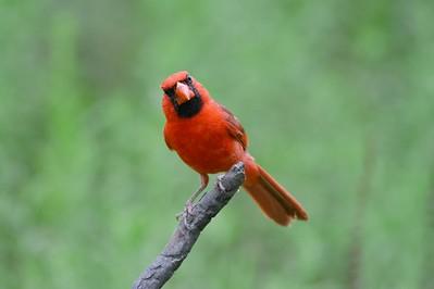 Northern Cardinal in South Texas [June; Sick Dog Ranch near Alice, Texas]