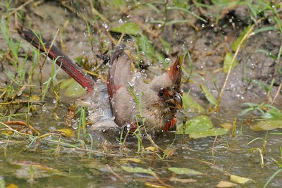 Pyrrhuloxia bathing [April; Sick Dog Ranch near Alice, Texas]