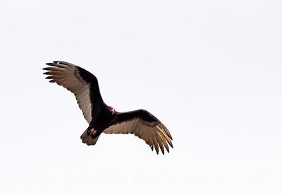 Hawks-Falcons-Vultures