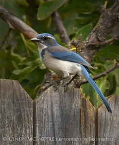 Jays-Blackbirds-Magpies