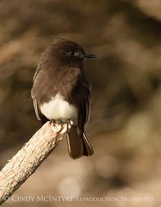 Phoebes-Flycatchers