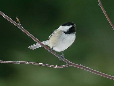 Black-capped Chickadee [February; Sax-Zim Bog, Minnesota]