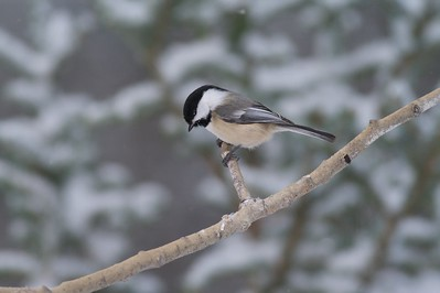 Black-capped Chickadees must eat non-stop during cold winter days in order to maintain their 104 degree internal temperature [January; Skogstjarna, Carlton County, Minnesota]