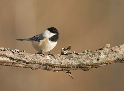 Black-capped Chickadee waiting for its turn at the deer carcass [December; Sax-Zim Bog, Minnesota]