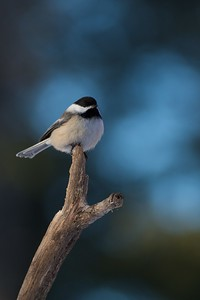 Black-capped Chickadees in winter will move in mixed flocks with nuthatches and Downy Woodpeckers. The added eyes means quicker alerts of predators [January; Skogstjarna, Carlton County, Minnesota]