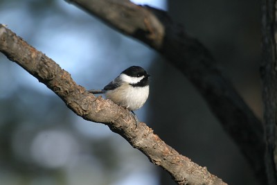 Black-capped Chickadee [March; Skogstjarna Carlton County Minnesota]