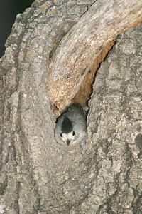Black-crested Titmouse Big Bend National Park TX 147_4785