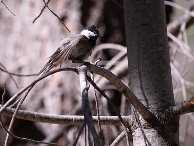 Mexican Chickadee Rustler Park Chiricahua Mountains near Portal Coronado National Forest southeast Arizona June 6-12 2019-1055333