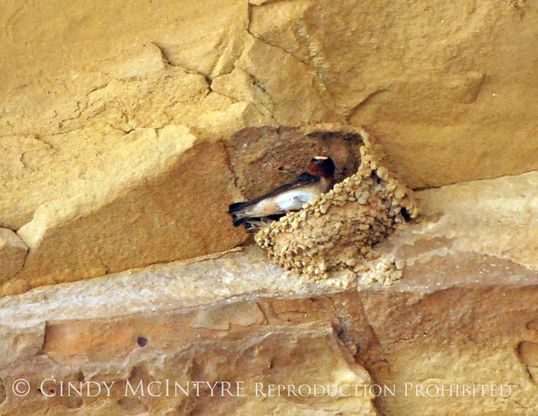 Cliff Swallow mud nests Chaco Canyon (24)