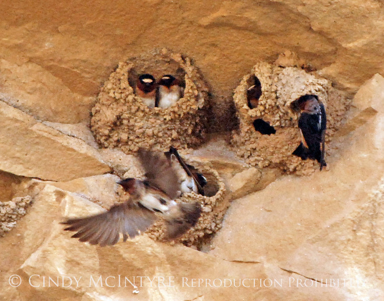 Cliff Swallow mud nests Chaco Canyon (11) copy