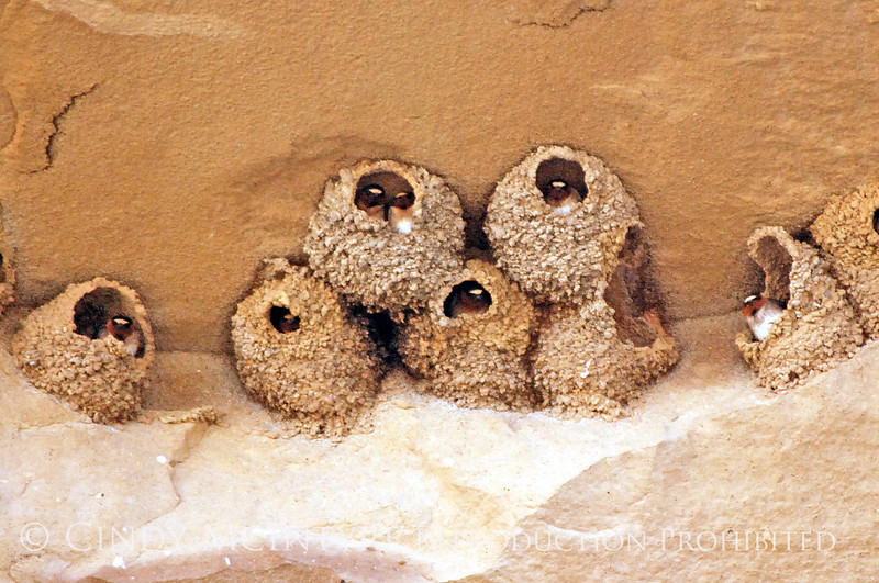 Cliff Swallow mud nests Chaco Canyon (4) copy
