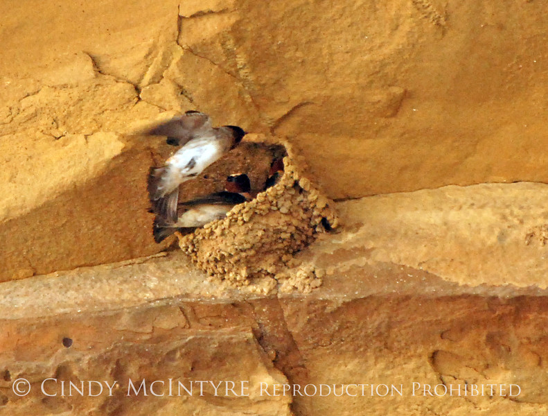 Cliff Swallow mud nests Chaco Canyon (31)
