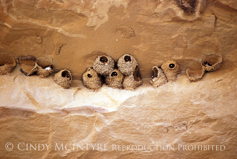 Cliff Swallow mud nests Chaco Canyon (7)