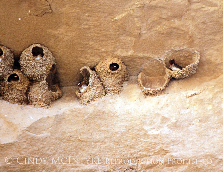 Cliff Swallow mud nests Chaco Canyon (5)