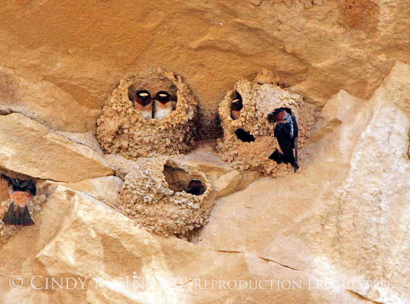 Cliff Swallow mud nests Chaco Canyon (13) copy