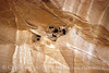 Cliff Swallow mud nests Chaco Canyon (13)