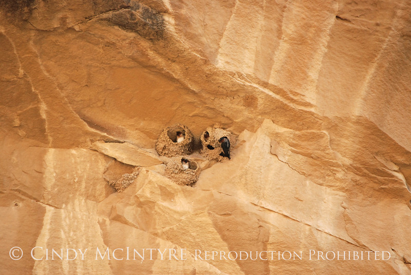 Cliff Swallow mud nests Chaco Canyon (8)