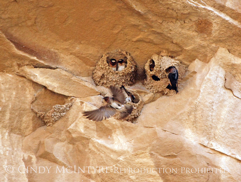 Cliff Swallow mud nests Chaco Canyon (11)