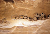 Cliff Swallow mud nests Chaco Canyon (3)