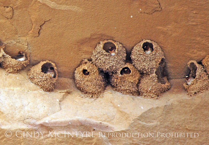 Cliff Swallow mud nests Chaco Canyon (1)