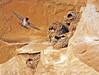 Cliff Swallow mud nests Chaco Canyon (15)