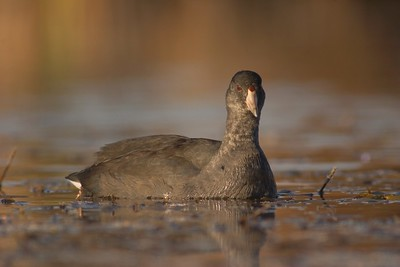 Young American Coots lack the red frontal shield that adults have [October; Tobin-Kimmes Wetlands, Douglas County, Wisconsin]