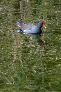 The Common Moorhen's favorite habitat; weedy shallows near dense cover. [December; Everglades National Park, Florida]