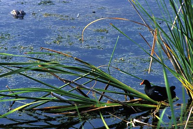 A stealthy alligator stalks a Common Moorhen [April; Eco Pond, Everglades National Park, Florida]