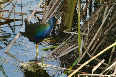 Purple Gallinule Everglades FL IMG_1036