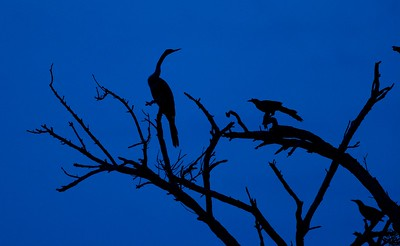 Anhinga blue silhouette [April; Krenmueller Farms, Lower Rio Grande Valley, Texas]