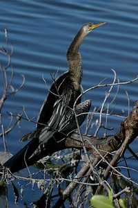 Anhinga dries its feathers [December; Ding Darling, SW Florida]