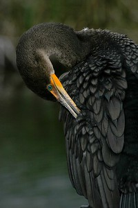 A preening Double-crested Cormorant [December; Everglades National Park, Florida]