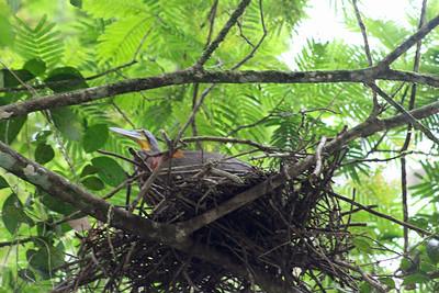 Bare-throated Tiger Heron Nesting