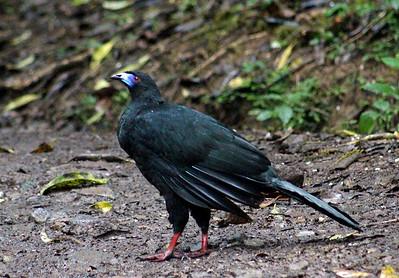 Black Guan, male