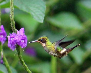 Black-crested Coquette female
