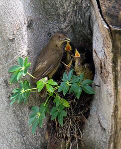 Yigüirro Nest