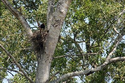 Common Black-Hawk Nest