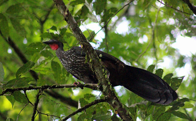 Crested Guan