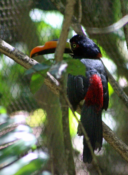 Fiery-billed Aracari Toucan, injured