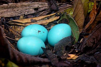 Great Tinamou Nest