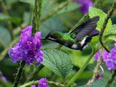 Green Thorntail Hummingbird female