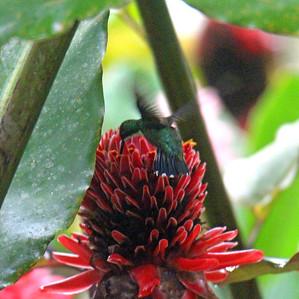 Green-breasted Mango